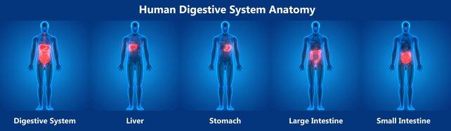 Illustration du système digestif humain