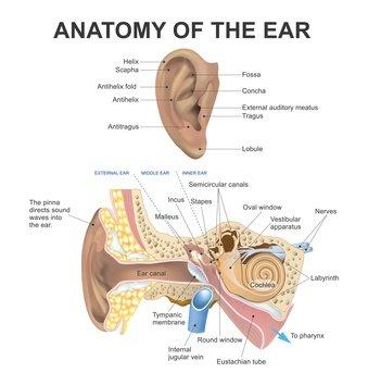 Photo de l'anatomie de l'oreille