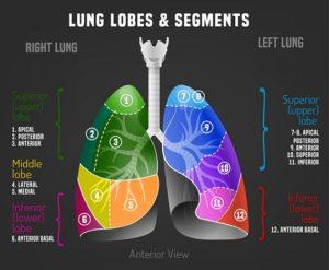 anatomie-poumon-coupe