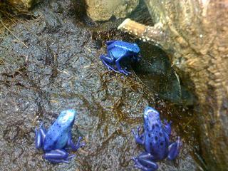 besancon-zoo-grenouille