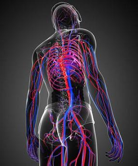 systeme-circulatoire